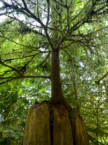 Cathedral Grove P1070323