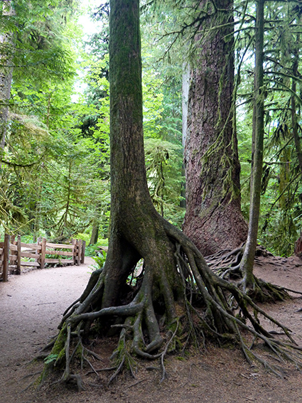 Cathedral Grove P1070332